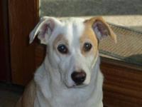 Yellow Labrador Retriever - Lily - Medium - Adult -