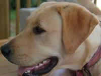 Yellow Labrador Retriever - Lio (courtesy) - Large -