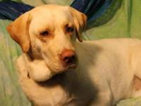 Yellow Labrador Retriever - Lucky - Large - Adult -