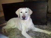 Yellow Labrador Retriever - Neo - Large - Young - Male