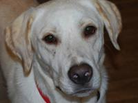 "Yellow Labrador Retriever - Otis ""courtesy Posting"" -"