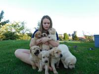 Beautiful Yellow Lab. Puppies, AKC Reg. Ready Oct. 2,