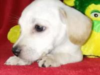 Labrador Retriever Puppy Boy mix, 2 months of age, de