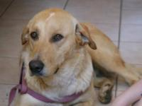 Yellow Labrador Retriever - Sammie - Large - Young -