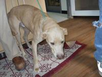 Yellow Labrador Retriever - Savannah - Large - Young -