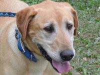 "Yellow Labrador Retriever - Stray Dog ""duke"" - Large -"