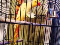 Yellow male INDIAN RINGNECK - $ 300 included the case