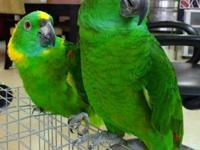 I have pretty pair of the YELLOW NAPED AMAZON, very