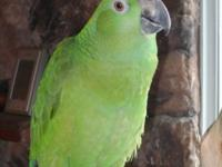 10 year old Yellow Naped Amazon. Quiet and extremely