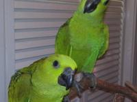 Hand fed baby Yellow Naped Amazons now on 3 feedings a