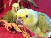 we have 1 baby yellow naped amazons available. we will