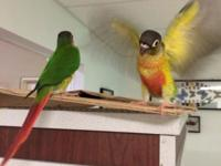 I have yellow side Green Cheek Conures just weaned and