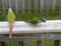 We have 2 gorgeous green cheek conures. The male is a