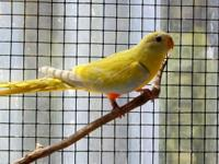 I have five (5) yellow turquoisine grass parakeet