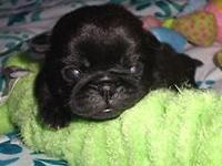 AKC Black Female Pug Puppies! They have an incredible
