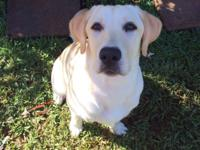 Women yellow lab puppy simply transformed 6 months old.