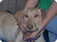 Yellow Labrador Retriever - Bailey-great Dog! - Medium