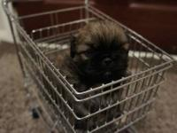 Fawn with black mask female Pekingese puppy born 13