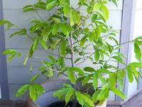 I have a 4.5 year old 4 foot tall Ylang tree for sale
