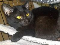 Yoda's story Yoda is a black domestic shorthaired