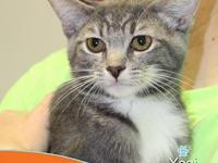 Yogi's story This cute, sweet, grey and white tabby is