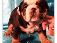 I have a litter English Bulldogs puppies available.