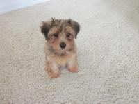 Yorkie-Poo puppy up for adoption. little lady. female