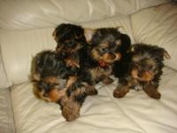 Fe.male and male Yor-kie pup.pies. They are AKC reg,