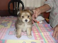 I have three female and two male Yoranians ( Yorkie &