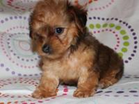 Male Yorki-Poo puppy $500. Pup is UTD on