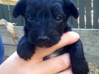 We have three Yorki poo puppies for sale! Dew claws