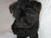 Puppies are half Yorkshire Terrier, half Poodle. They