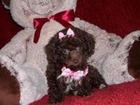 Kisses is a Beautiful Yorki Poo Female. She has been