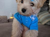 Thank God I'm a Country-Boy! Teacup Yorkie-Poo. 5lb &