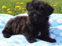 Yorkie Poo Puppy Classifieds Buy Sell Yorkie Poo Puppy Across