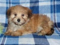 Yorkie Poo Classifieds Buy Sell Yorkie Poo Across The Usa Page