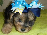 Look at this super RARE little merle male Yorkie poo