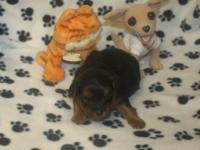 I have a male Yorkipoo for sale. Born Mar. 28. CKC