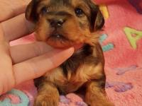 Beautiful rare reddish brown YorkiePoo Baby