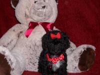 Yorki Poo Pups, Adorable Little Fur Babies, Male &