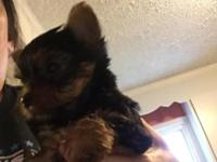Yorki puppies born August 24, 2015, should be ready to