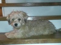Sweet female yorkichon. Comes with a health guarantee,