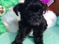 I have for sale 1 adorable little Yorkie- Poo puppy.