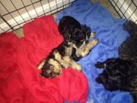 Very playful and energetic Yorkie- Poo puppies for
