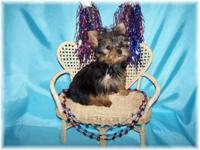 Little male Yorkie charting to be just 3-1/2 to 4 lbs.