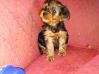 1 male yorkie prepared for christmas, tail docked, dew