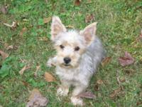 Yorkie male he is 5 months old, CKC Reg. & & he is up