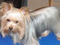 This adorable 5 yr old yorkie female would be the