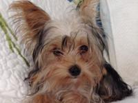 LuLu is 3lb, 6 month old AKC Yorkshire Terrier. She is