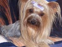 Adorable 3-year-old Yorkie, weighs only 4 1/2 pounds,